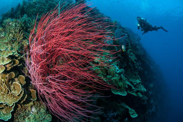 Seepeitschen auf Koralle im Indonesischen Ozean