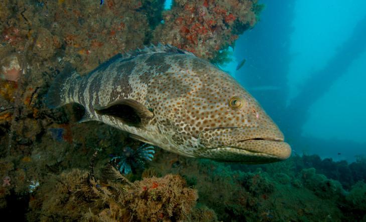 Zackenbarsch im Indischen Ozean vor Indonesien