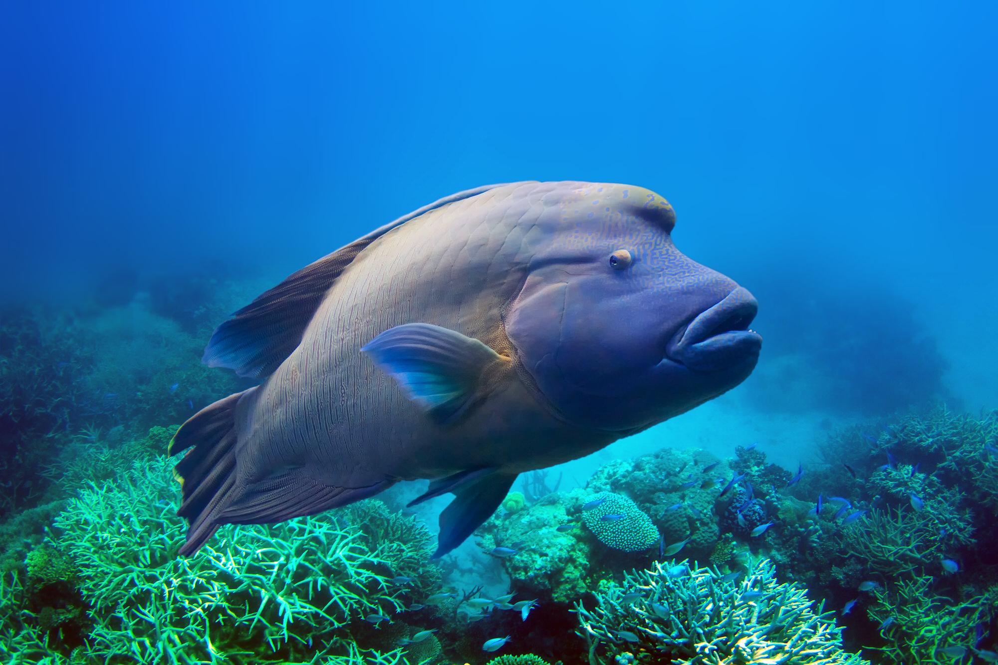 Napoleonfisch im tropischen Indischen Ozean
