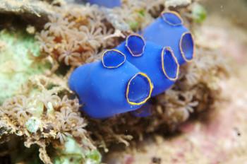 Seescheide auf Koralle vor Indonesien