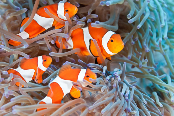 Clownfisch in Anemone vor Indonesien