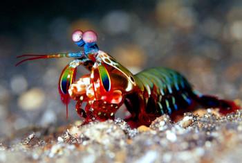 Fangschreckenkrebs in Riff vor Indonesien