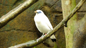 Balistar im Bali Bird and Reptile Park