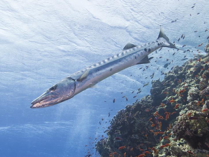 Barracuda im Freiwasser irgendwo vor Indonesien