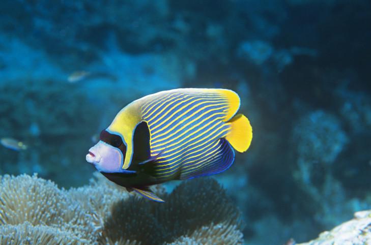 Kaiserfisch in Riff vor Indonesien