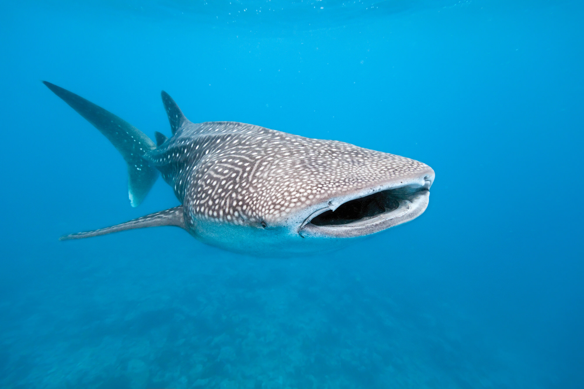 Walhai vor der Küste Indonesiens