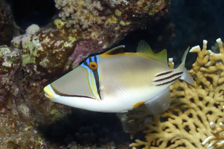 Drückerfisch vor Riff in Indonesien