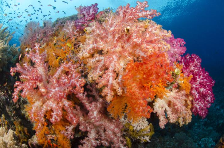 Weichkoralle auf Riff vor Indonesien