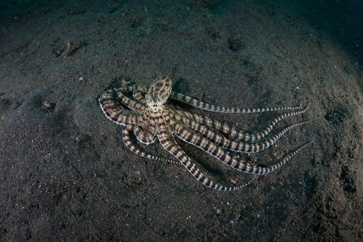 Oktopus vor Indonesien
