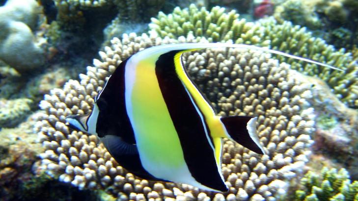 Kleiner Rifffisch vor Indonesien