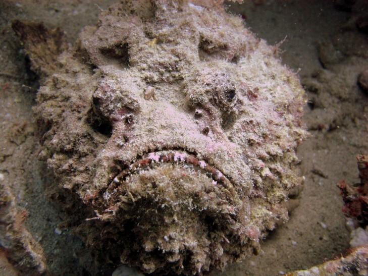 Steinfisch im Sand vor Indonesien
