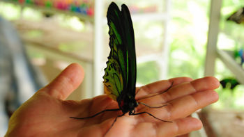 Swallowtail Schmetterling