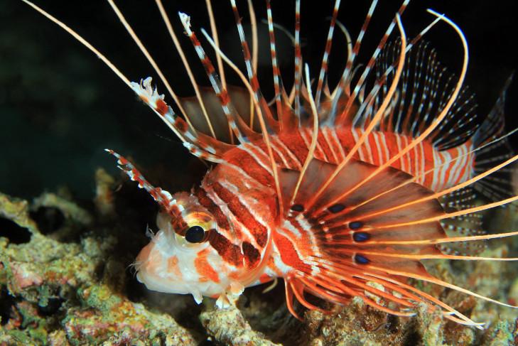 Rotfeuerfisch auf Anemone vor Indonesien