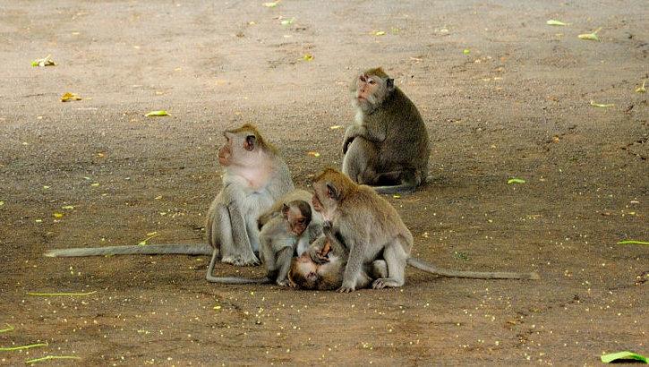 Affen im Affenwald beim Bujan See, Bali