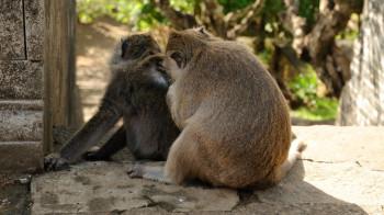 Affen in den Affenwäldern Balis