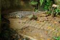 Krokodil im Bali Bird and Reptile Park