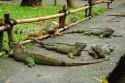 Leguane im Bali Bird and Reptile Park