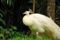 Pfau im Bali Bird and Reptile Park