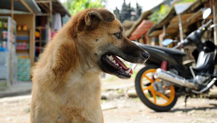 Hund auf Bali