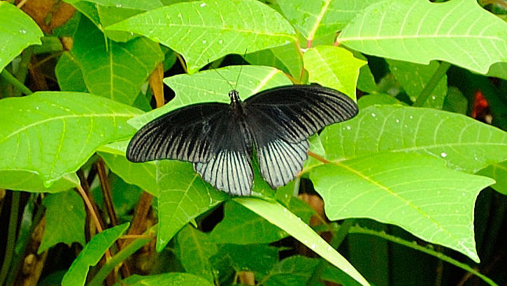Great Mormon Schmetterling im Schmetterlingspark, Bali