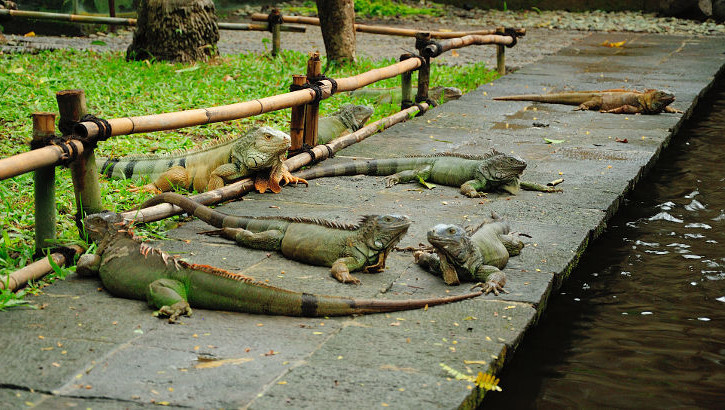 Leguane im Bali Bird and Reptile Park
