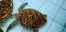Meeresschildkröte auf der Pulau Serangan, Bali