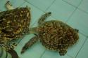 Schildkröten auf der Pulau Serangan, Bali