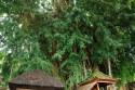 Ficus im Pura Kehen in Bangli, Bali