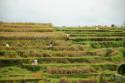 Ernte in den Reisterrassen Balis