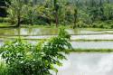 Reisterrasse bei Mas, Bali