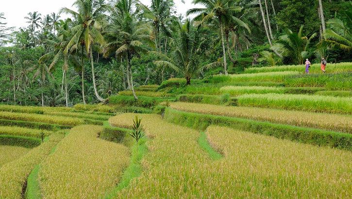 Reisterrasse in Balis Hinterland