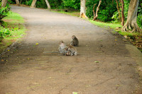 Affen im Pura Luhur Uluwatu, Bali