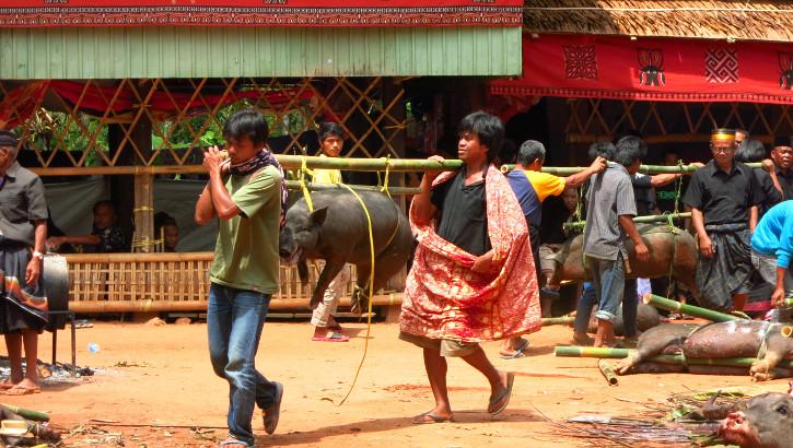 Tiere auf dem Weg zur Schlachtung, Zeremonie Tana Toraja, Sulawesi