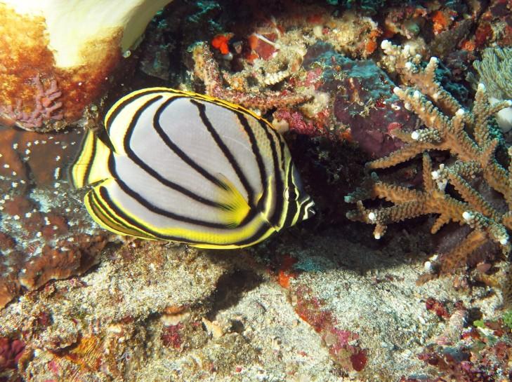 Schwarzstreifen Falterfisch vor Indonesien