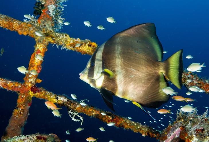 Taucher in künstlichem Biorock Riff, Indonesien