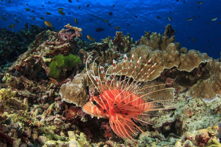Rotfeuerfisch vor Indonesien
