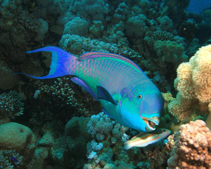 Büffelkopf-Papageienfisch vor Riff, Indonesien