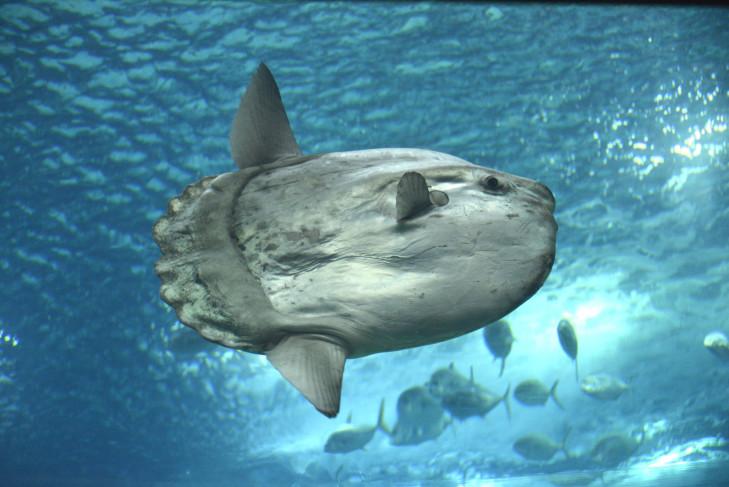 Mola Mola im Freiwasser vor Indonesien