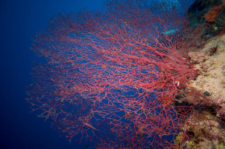 Rote Gorgonie auf einem Riff vor Indonesien