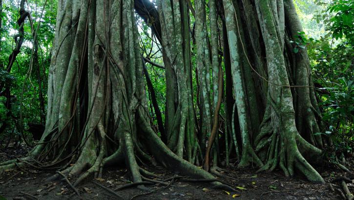 Riesiger Ficus im Nationalpark auf Bali