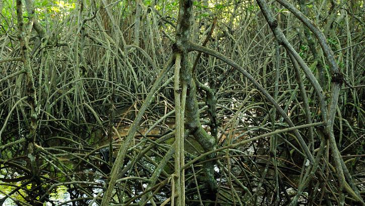 Mangrovenwurzeln an der Küste von Balis Nationalpark