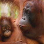 Orang Utan auf Borneo / Kalimantan, Indonesien