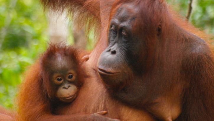 Borneo: Eine Reise zu den Orang-Utans