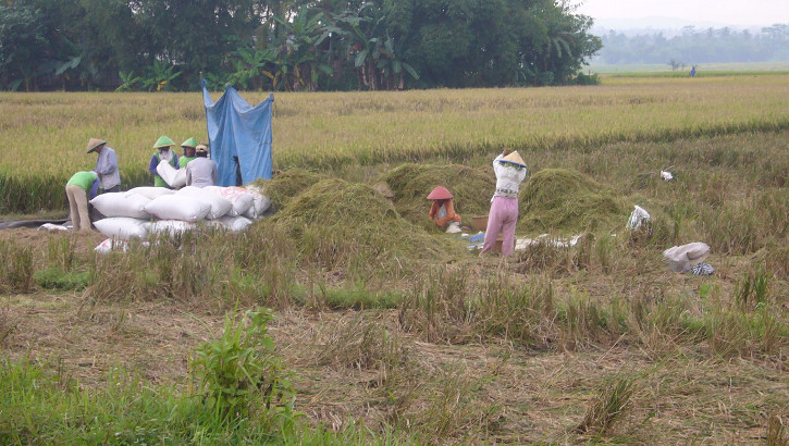 Reisarbeiter bei Banyumas, Zentraljava, Indonesien