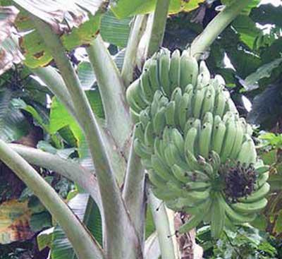 paradies-bananen